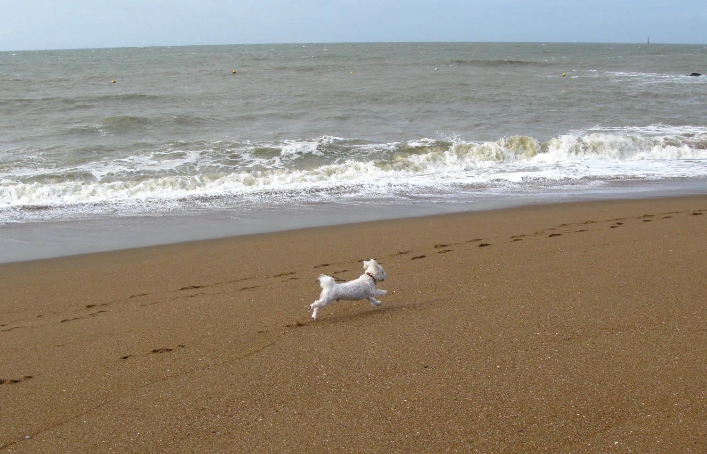 Chien court sur la plage   Saint Marc sur Mer   France   photo sandrine cohen
