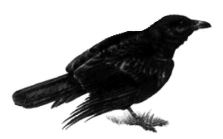 raven4.jpg