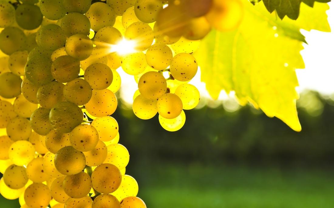 Robola_grapes.jpg