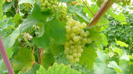"""Glera """"Prosecco"""" grapes"""