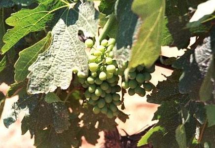 greek_syrah_grapes1-1.jpg