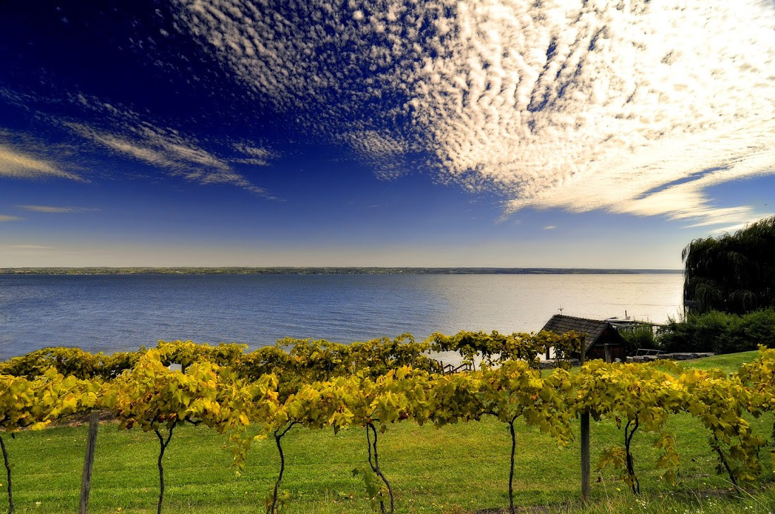 Vineyard in the Finger Lakes