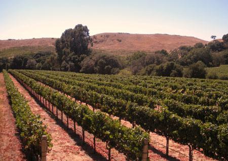 Growing Chardonnay grapes in Carneros, California