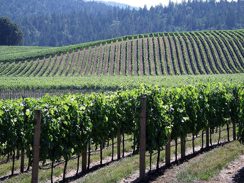 Picture perfect grape vineyards in Washington State