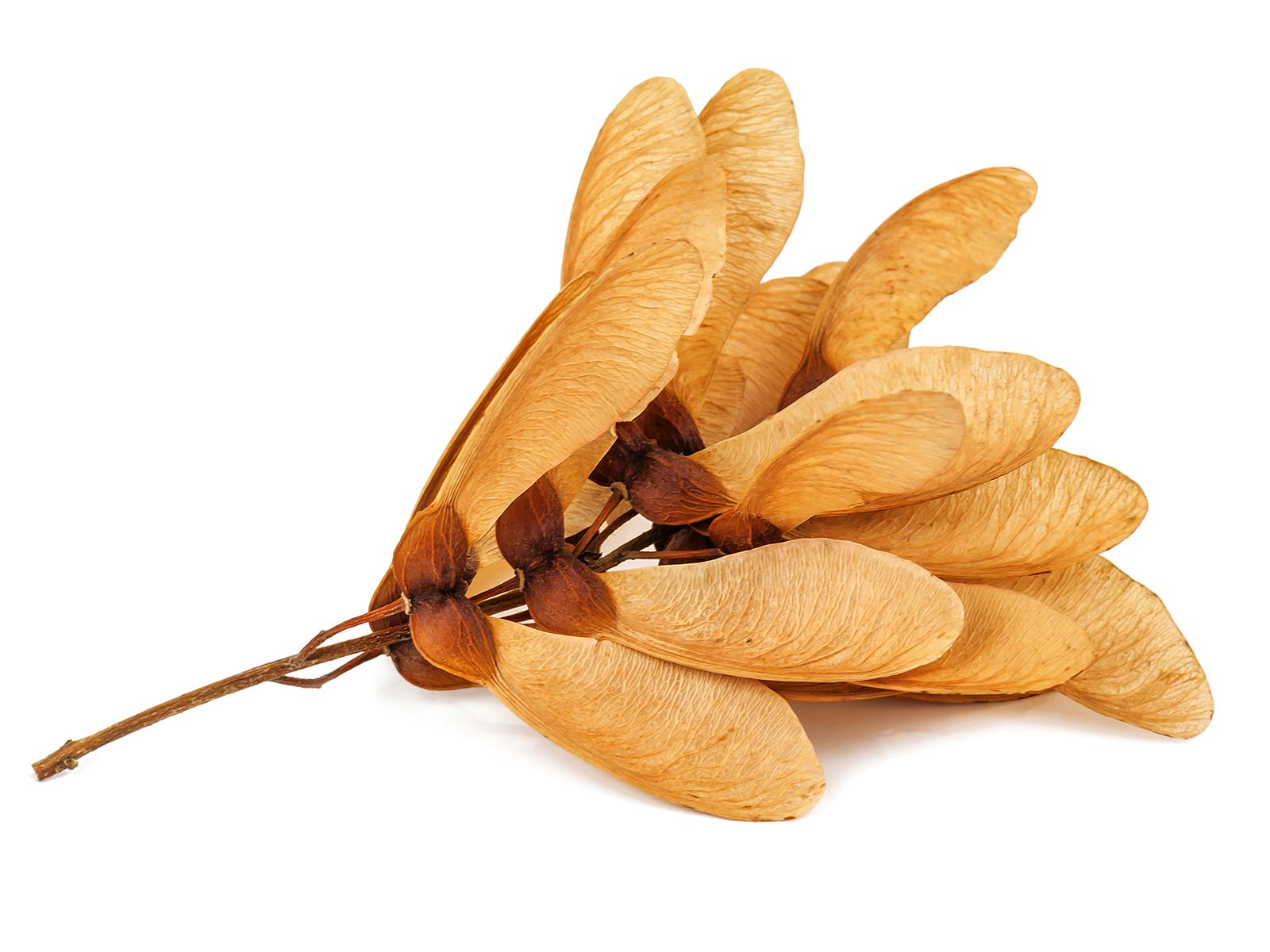 "A samara is a winged seed. Even if you don't recognize the term, most people are familiar with samaras as ""helicopters"" twirling down from a maple tree"