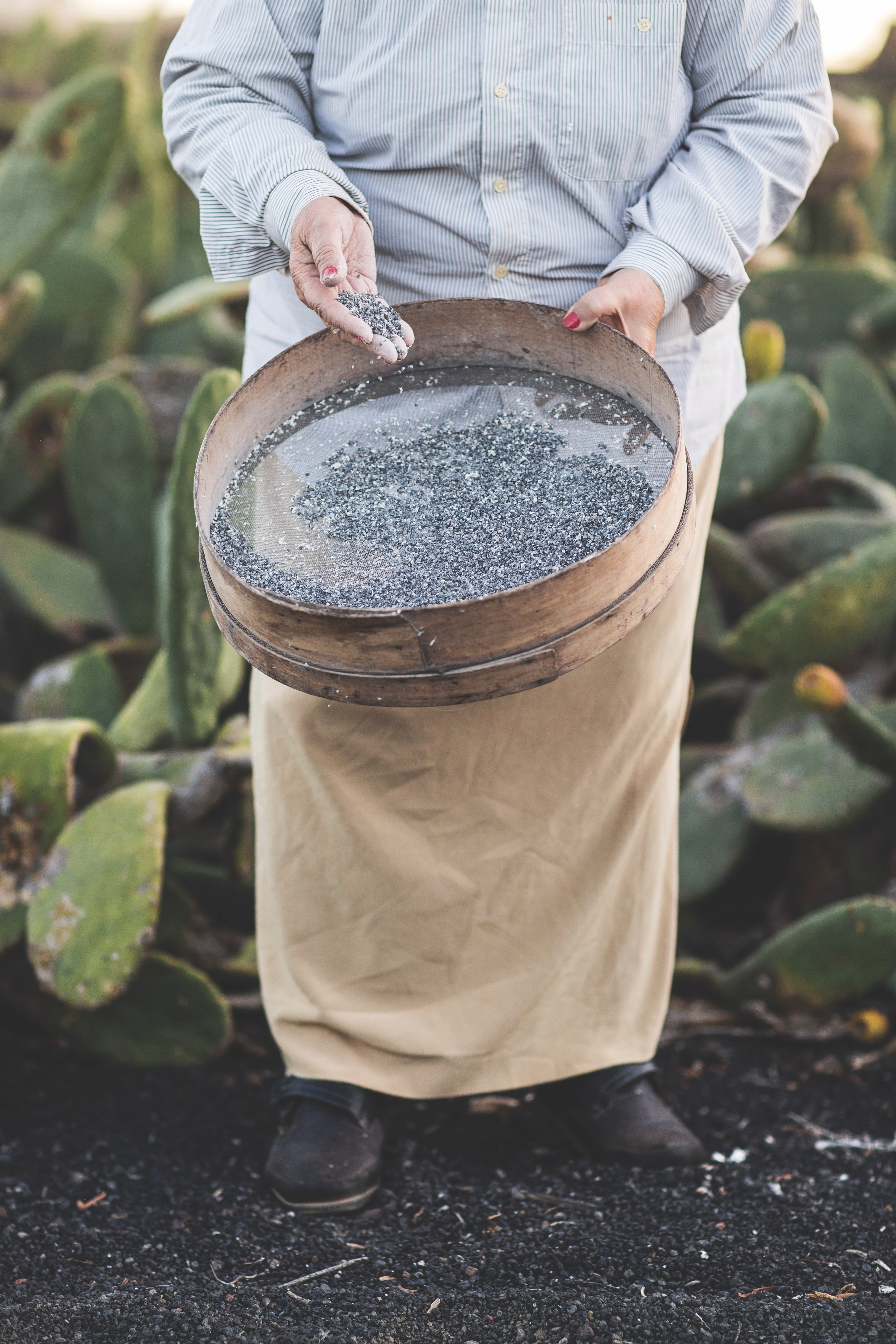 cochineal_bug_harvest
