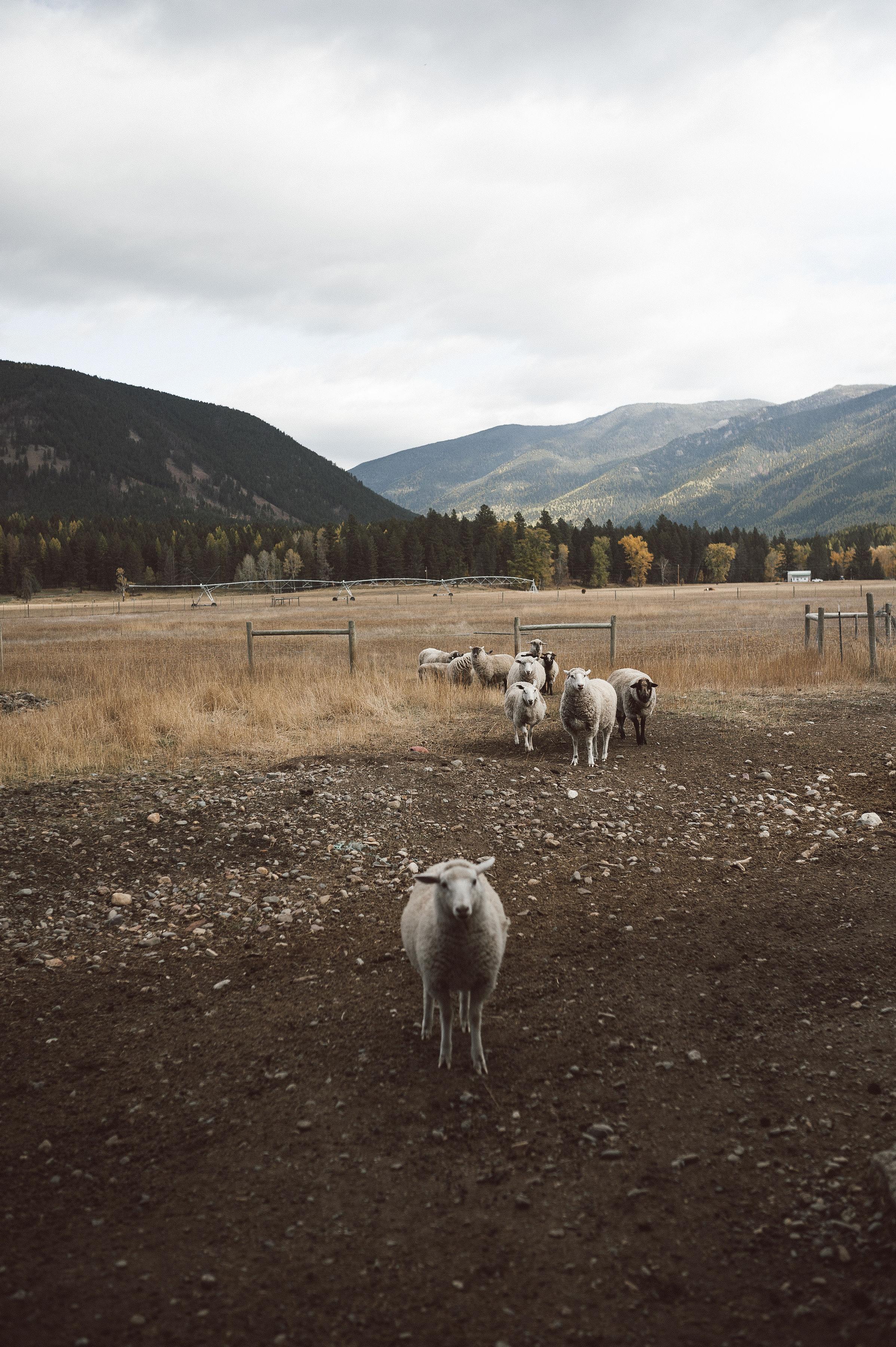 Siri Larsen Sheep Flock.jpg