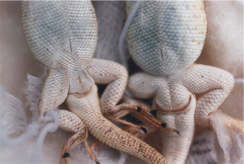 """1. Transverse cloacal opening on two lizards  """"Herpetology Lecture 5."""" Illinois Natural History Survey, Accessed 9 May 2019  http://wwn.inhs.illinois.edu/~chrisp/HerpLectures/HerpLec5.pdf"""