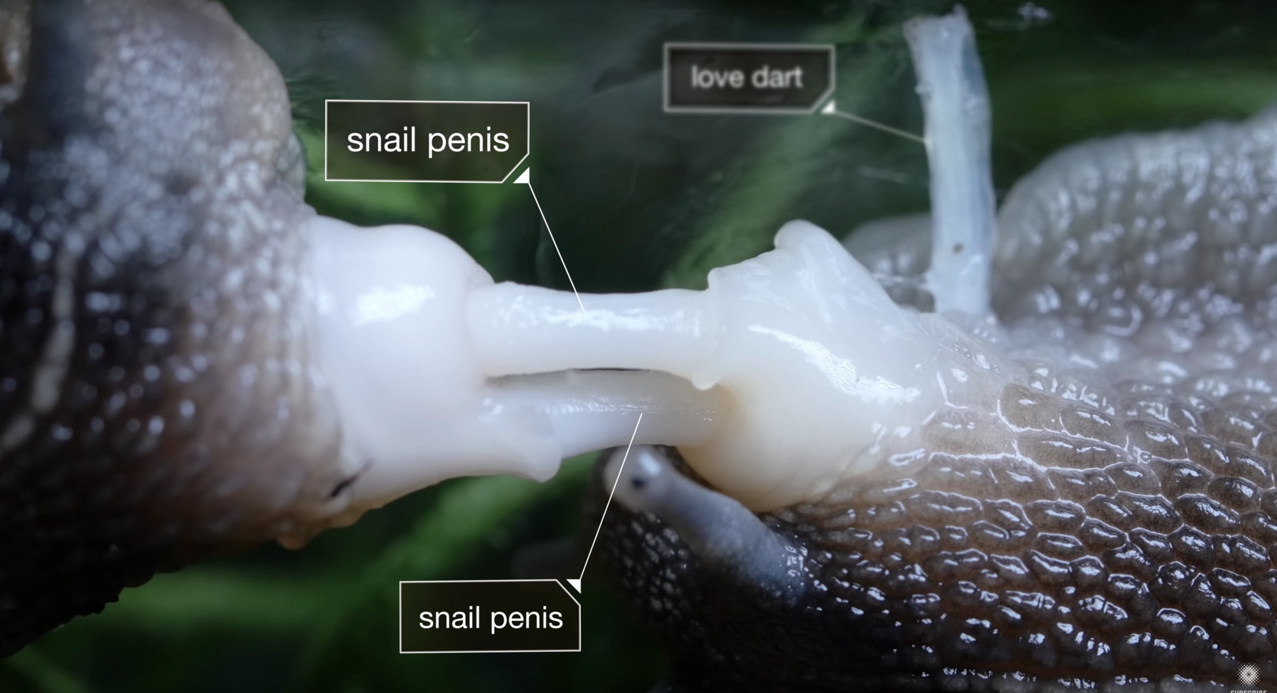 """7. """"Everything You Never Wanted to Know About Snail Sex."""" Deep Look, PBS Digital Studios. Published on Youtube, 14 March. 2017, https://www.youtube.com/watch?v=UOcLaI44TXA"""