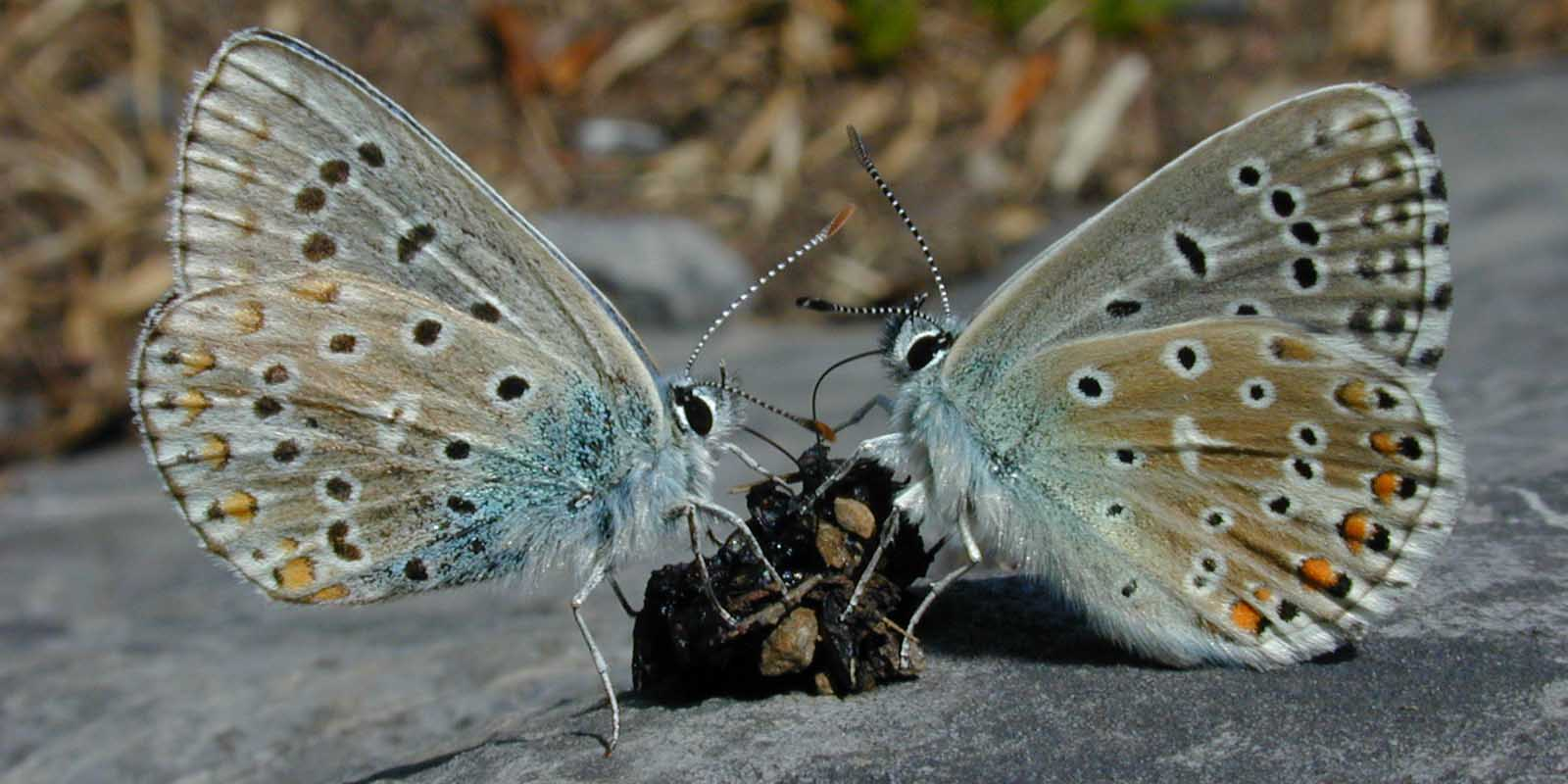 """15. Connolley, William M. Photography. """"Two  Adonis Blue   butterflies  ( Polyommatus bellargus )  feed  on a small lump of  feces  lying on a rock."""" June 2001  https://en.wikipedia.org/wiki/File:Adonis_Blue_butterflies.jpg"""