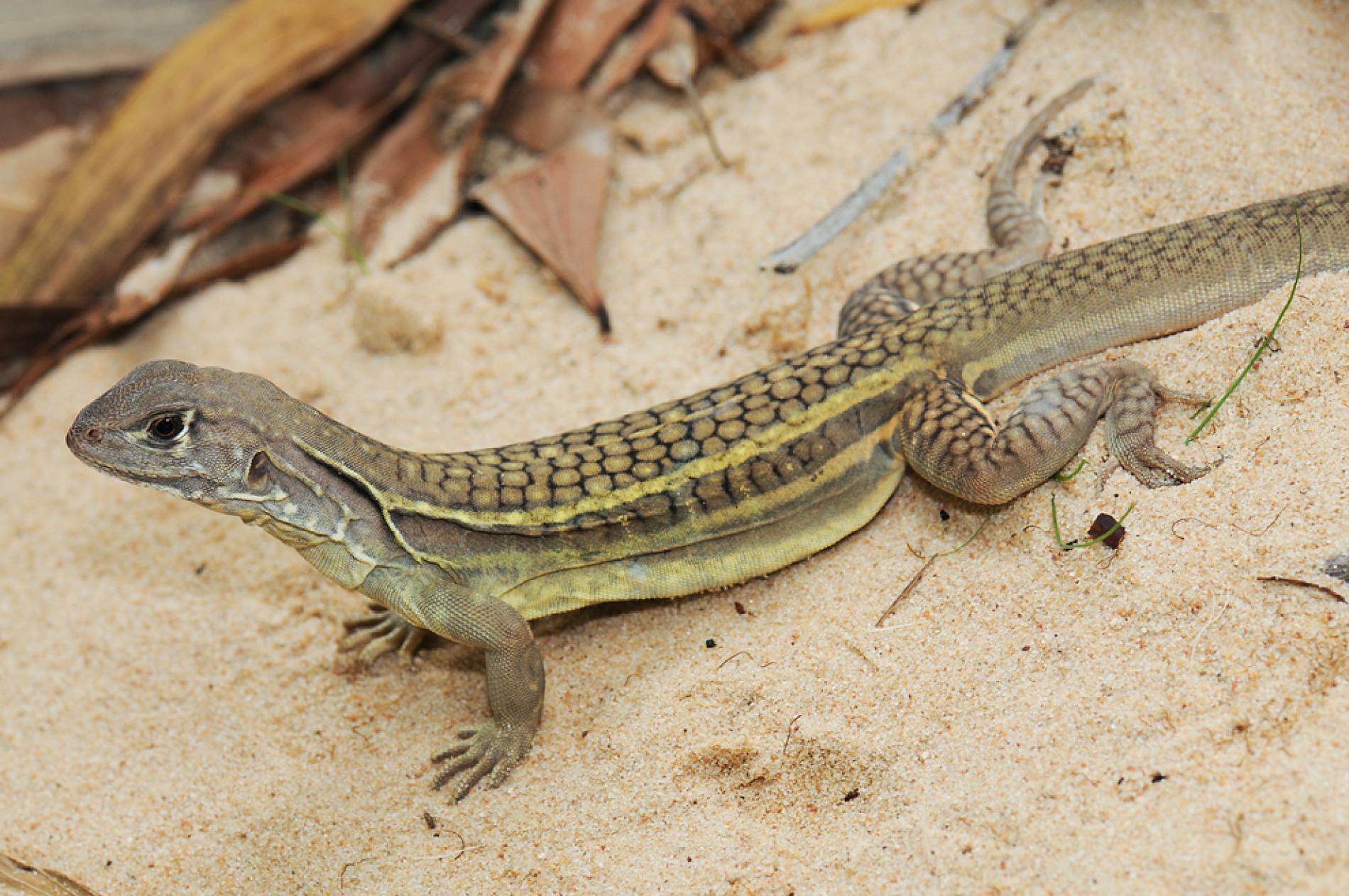 """23. Handwerk, Brian. """"New Self-Cloning Lizard Found in Vietnam Restaurant."""" National Geographic, National Geographic Society, 10 Nov. 2010, news.nationalgeographic.com/news/ 2010/11/101108-new-lizard-virgin-birth-vietnam-science-animals/."""