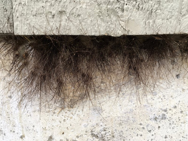 """24. Kusmer, Anna. """"The Hair Sprouting From This Building Is Actually Thousands of Tiny Legs."""" Atlas Obscura, Atlas Obscura, 15 Nov. 2018, www.atlasobscura.com/articles/why-do-daddy-longlegs- cluster-together."""