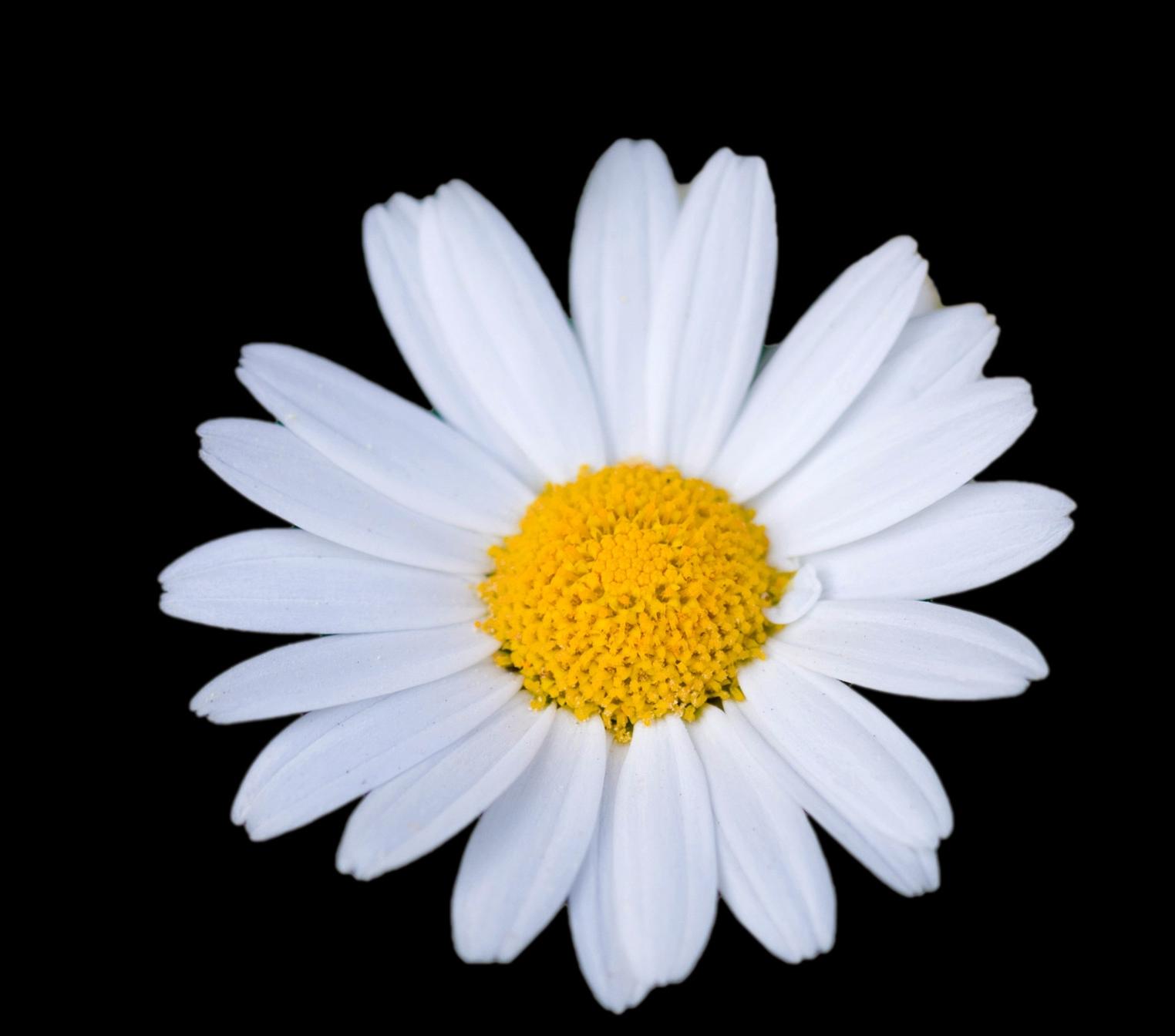 daisy-flower.jpg