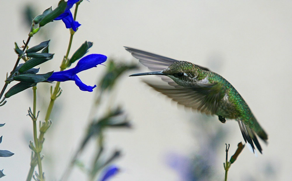 Female_Ruby_Throated_Hummingbird_and_Black_and_Blue_Salvia_Flower_(2739259280).jpg