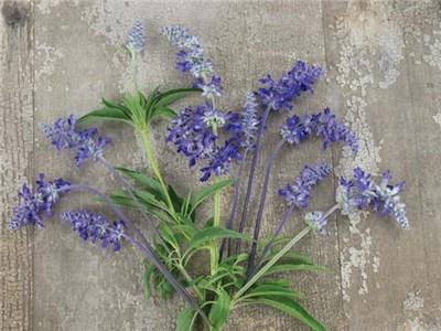 flower-salvia-blue-bedder-fl253-web-2.jpg
