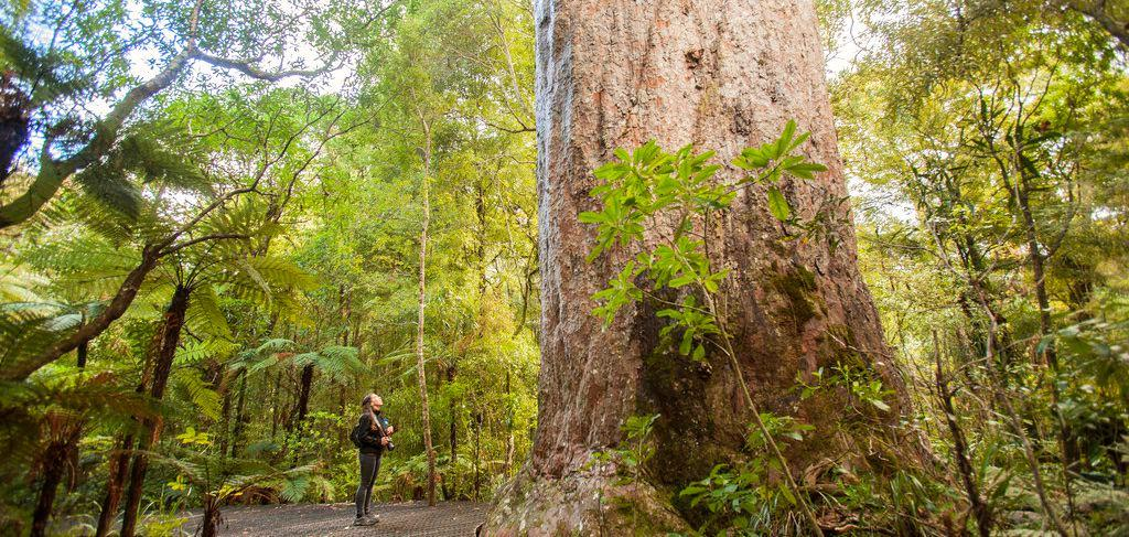 Travel Guide NZ - Quiver South - Waipoua Forest