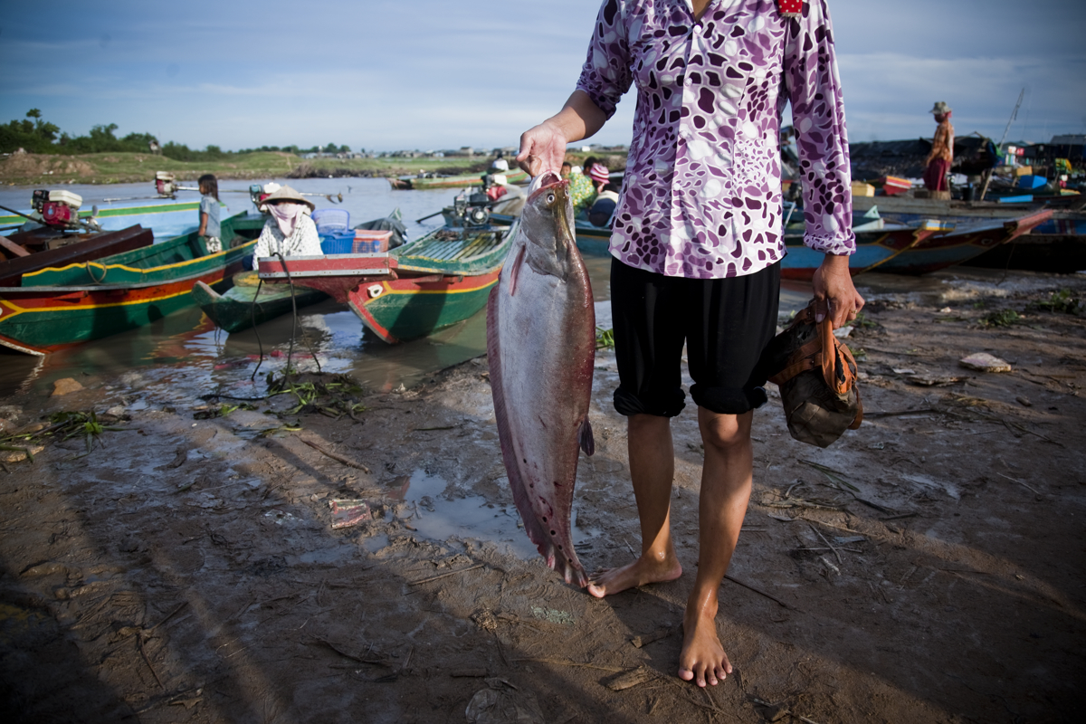 May 21, 2009 - Kampong Luang, Cambodia. In 2009 large fish where still a common site at fish markets around the Tonle Sap lake. In recent times it is rare that a fisherman hauls in a large catch. © Nicolas Axelrod / Ruom