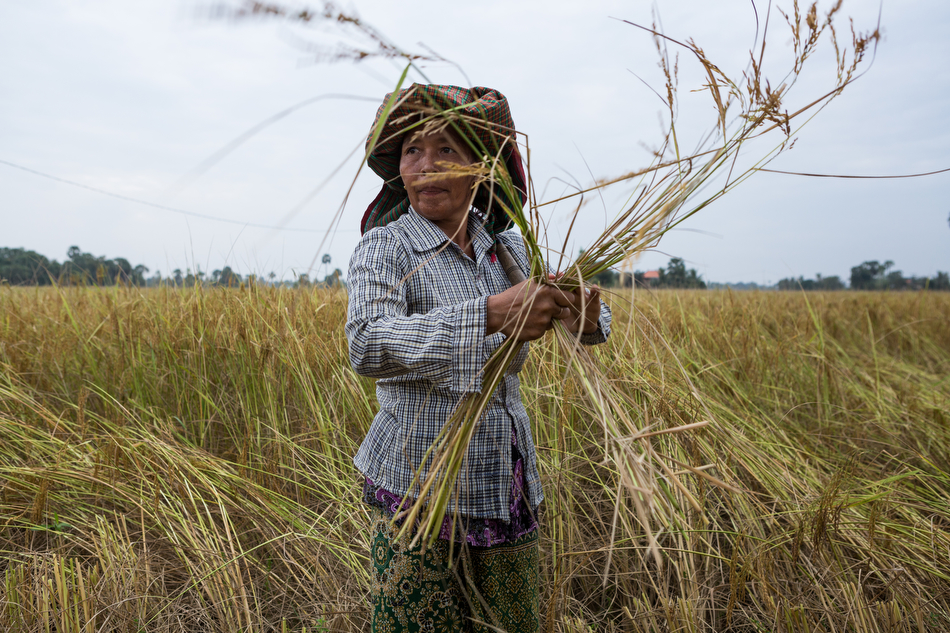 December 14, 2013 - Takeo, Cambodia. Mrs. SOUM Sophal. Rice Harvest. PADEE Project - Trapeng Pring Village. © Nicolas Axelrod / Ruom for SNV