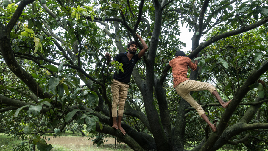 July 18, 2016 - Moradabad, India. Looking for mangoes in a tree. © Nicolas Axelrod / Ruom