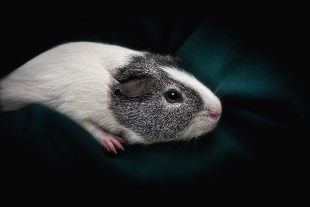 Guinea_Pig_Photography_Sussex_Surrey.jpg