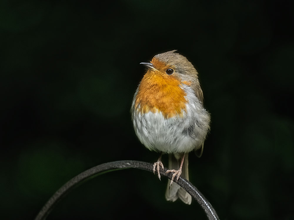British_Robin_Bird_Photography_West_Sussex.jpg