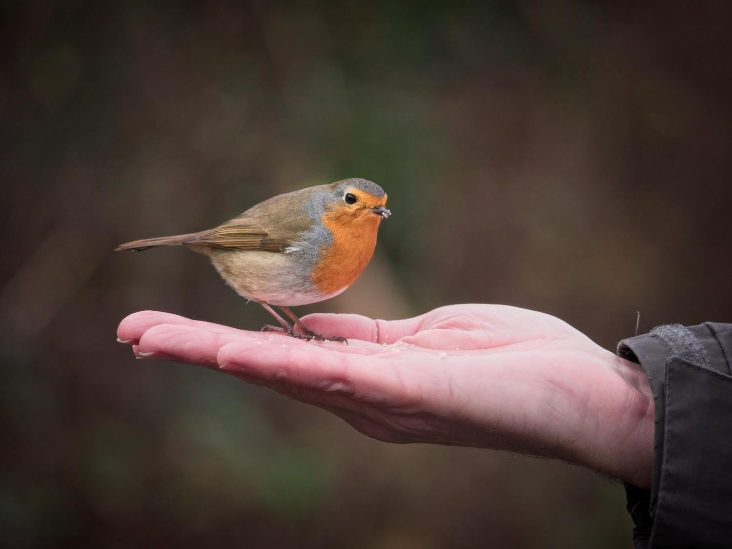 How to Train a Robin to Hand Feed