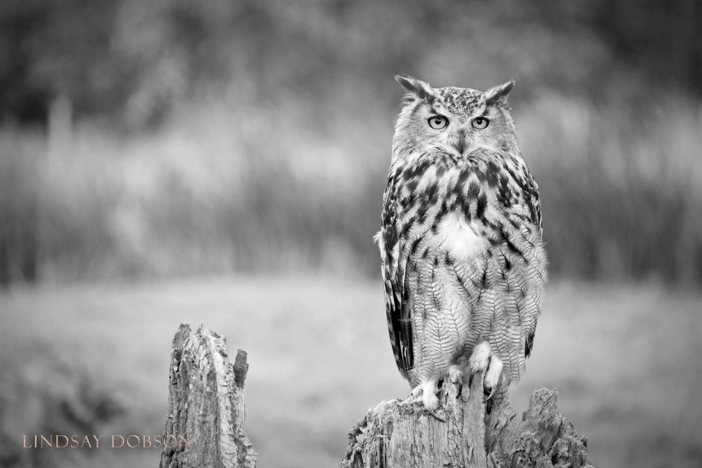 Native_British_Wildlife_Photography_Eagle_Owl_0.jpg