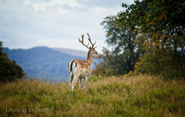 Native_British_Wildlife_Photography_Fallow_Deer0.jpg