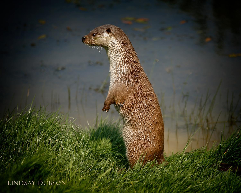 Native_British_Wildlife_Photography_Otter_0.jpg