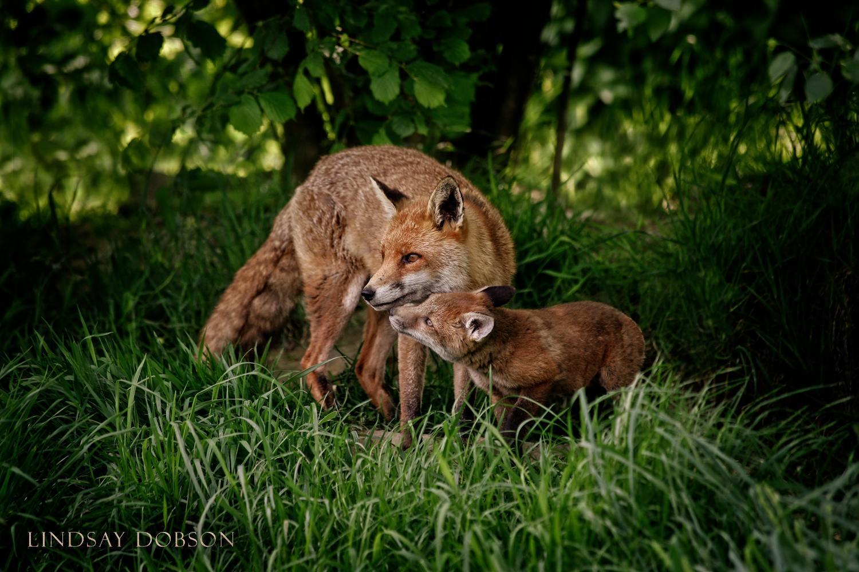 Native_British_Wildlife_Photography_Fox_Cub0 copy.jpg