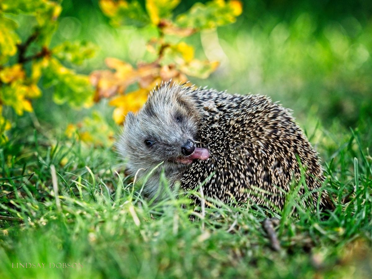 Wildlife Photographer West Sussex and Surrey Hedgehog