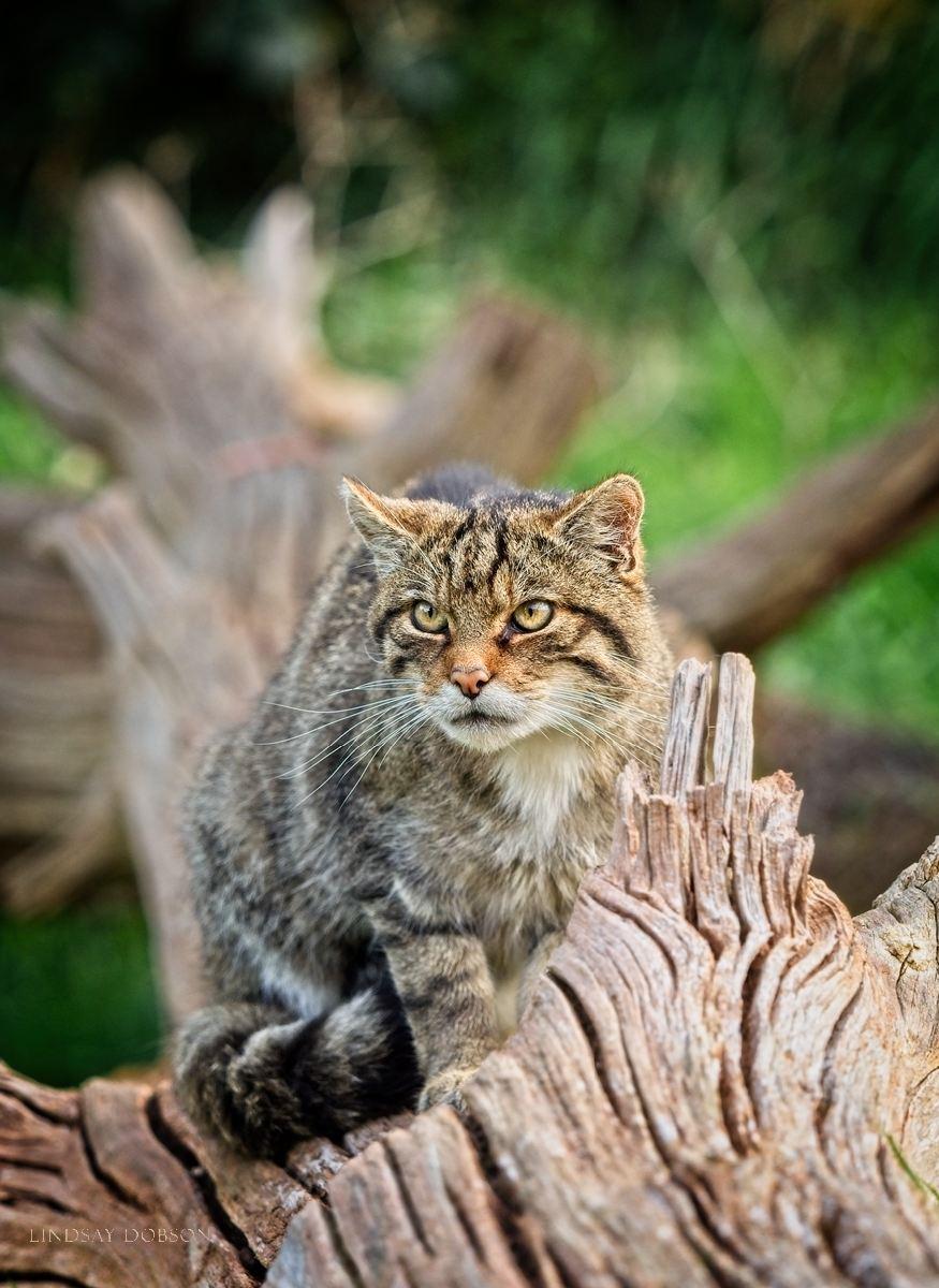 Scottish Wildcats at the British Wildlife Centre Surrey copy4.jpg