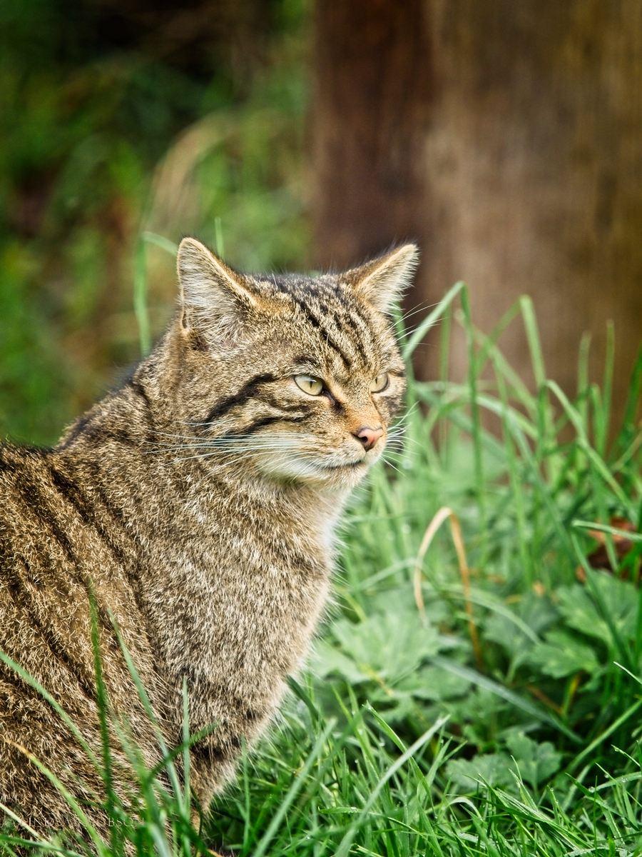 Scottish Wildcats at the British Wildlife Centre Surrey copy18.jpg
