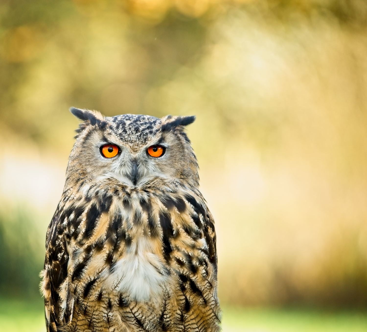 European Eagle Owl … - To say that Ethel is massive is an understatement – these birds can easily carry off a young deer.