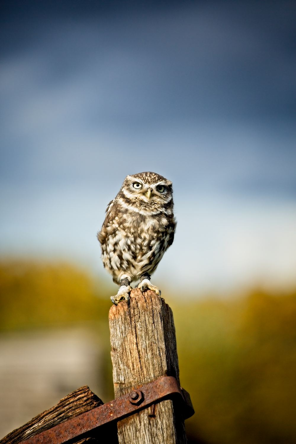 Little Owl … - This is Scrappy, a Little Owl. He's tiny, around 7 inches high. Tip: you can bring quite a lot of variety into images by shifting your position relative to your subject – enabling you to experiment with different lighting patterns and different backgrounds. I took quite a few pictures of Scrappy, he's a bit of a poser.