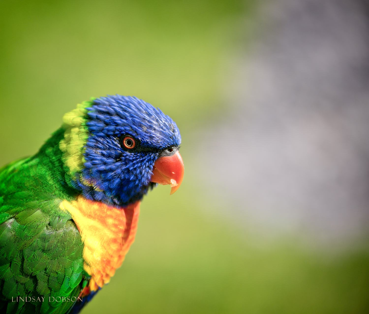 Photographing Captive Animals in Zoos Lorikeet