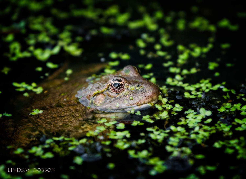 Exotic Wildlife Photographer Surrey Marsh Frog