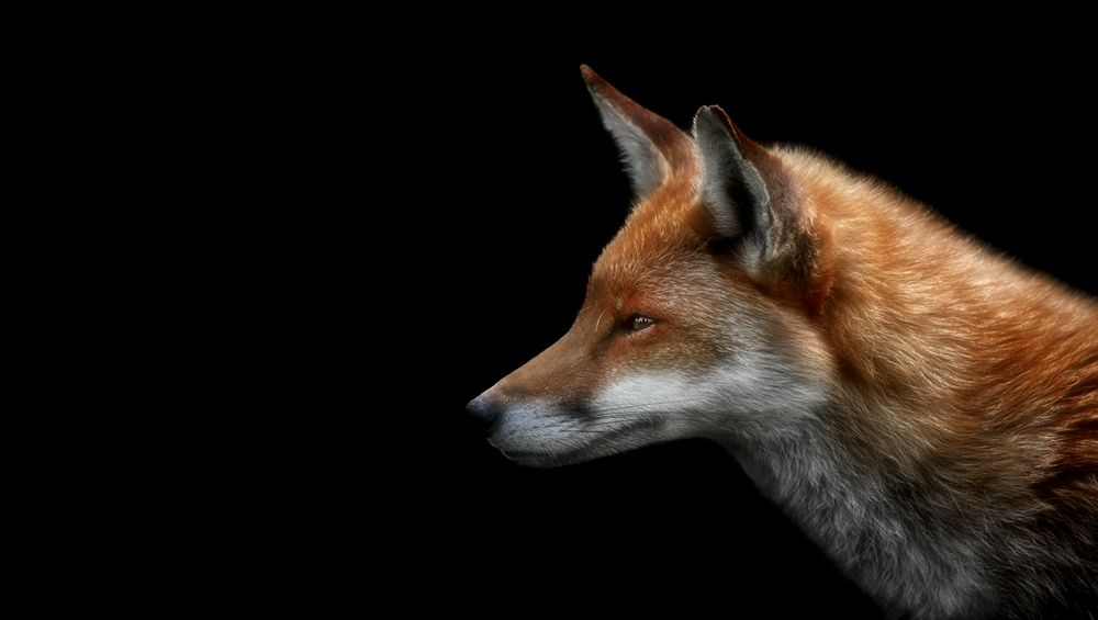 Red Fox Portrait Surrey