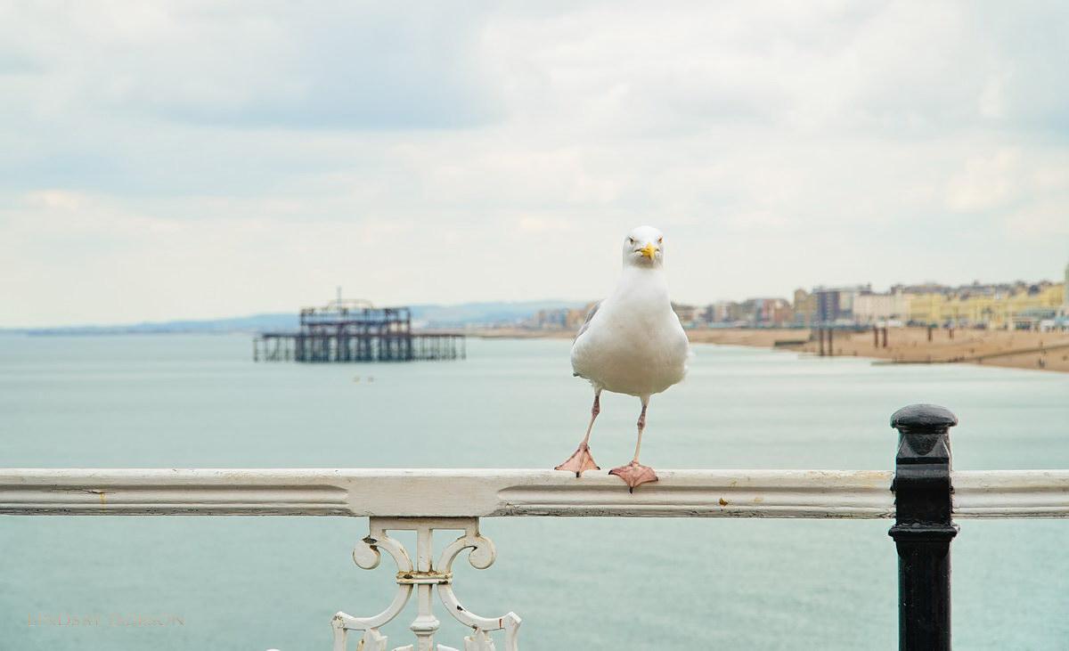 Herring Gull Brighton Pier