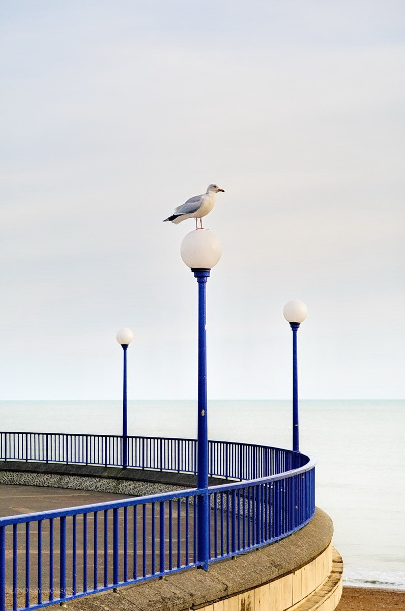 Herring Gull Eastbourne