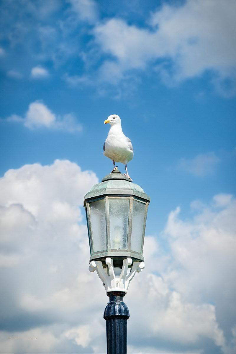 Herring Gull Eastbourne Pier