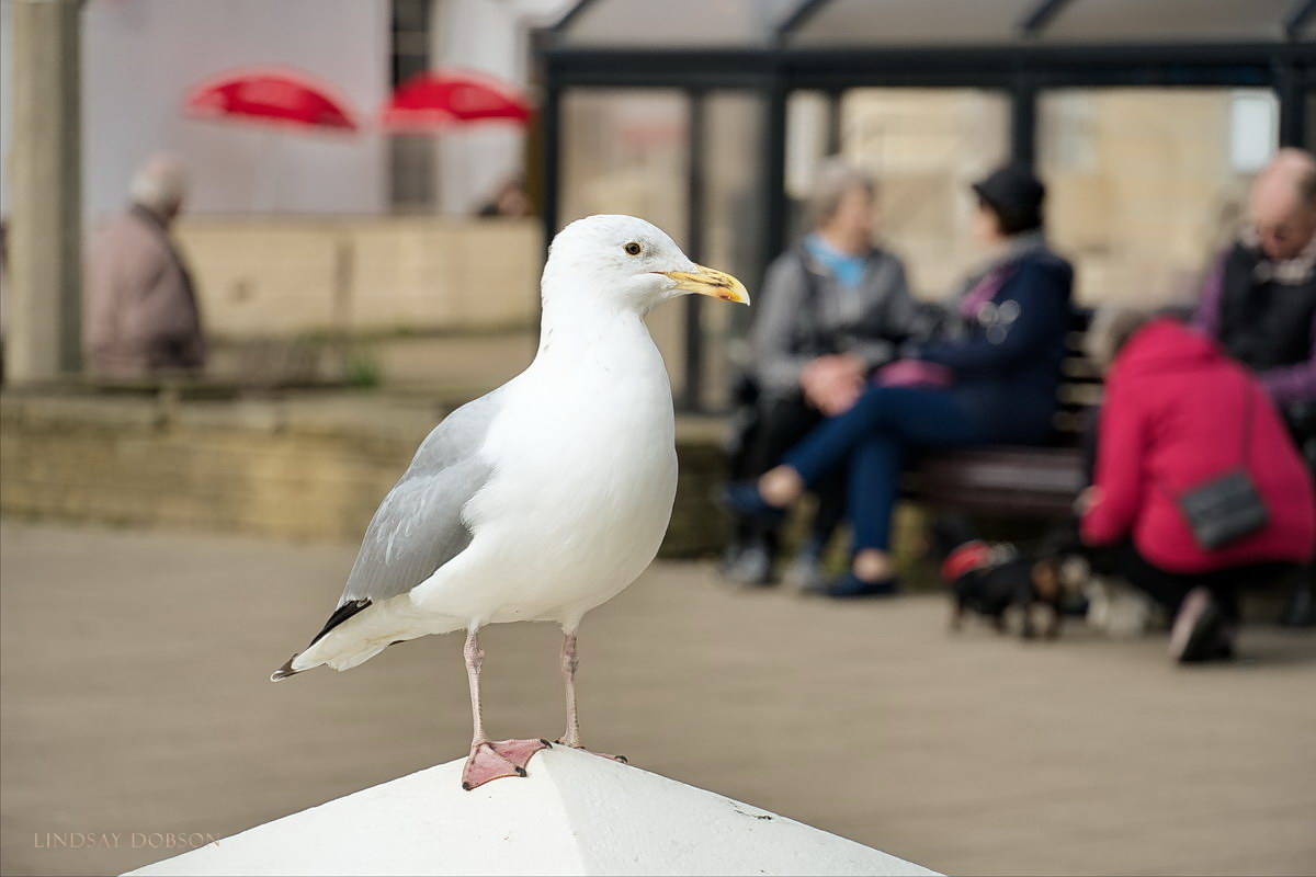 herring gull worthing seafront west sussex