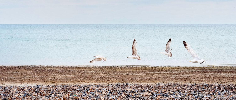 Herring Gulls on Littlehampton Beach West Sussex