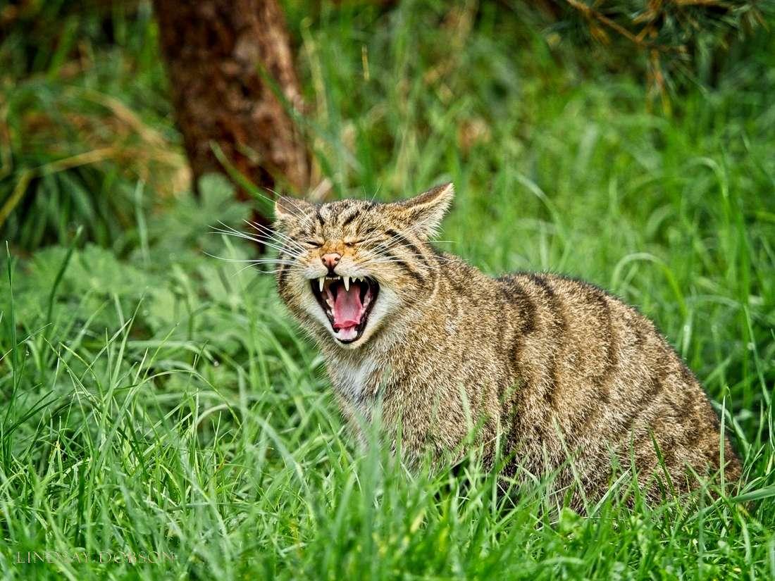 scottish-wildcats-1000 copy2.jpg