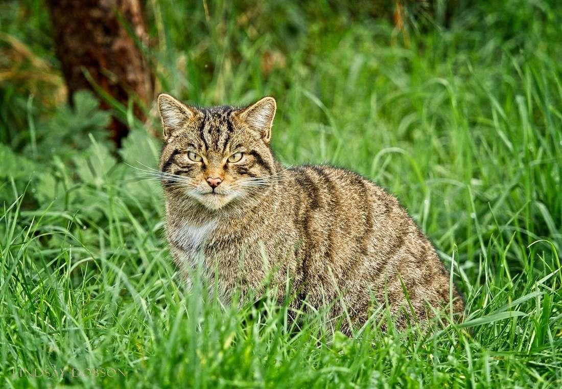 scottish-wildcats-1001 copy2.jpg