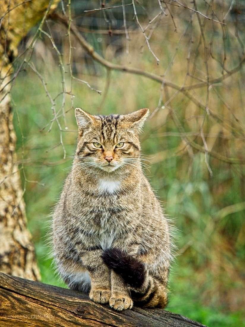 scottish wildcat british wildlife centre
