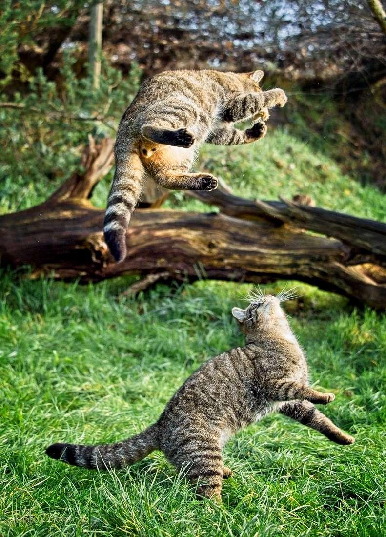 scottish-wildcats-1008.jpg