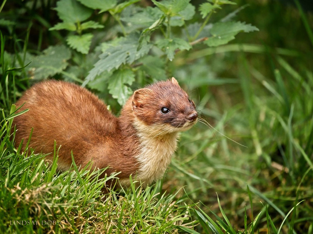 Breeding …. - Stoats raise one letter a year (two for weazels) of between 6 and 12 kits. Neither stoats nor weazels are endangered.