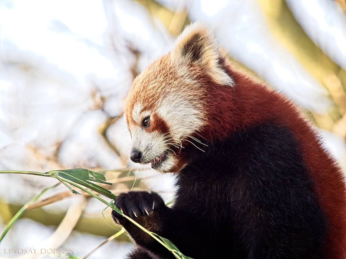 Size & weight - With a body of up to 25 inches, the tail adds up to a further 23 inches. Red Pandas can weigh up to 20 lbs