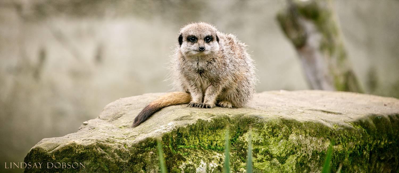 meerkat-wildlife-photography-sussex.jpg